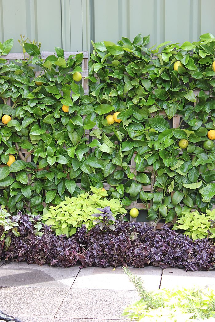 espaliered lemon tree at mifgs 2013 cool trees all along the backyard fence
