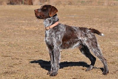 Idaho Outback Wirehaired Pointing Griffon Puppies arriving in March 2013