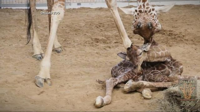 Naming Rights For Dallas Zoo's Baby Giraffe Sold For $50K Baby Giraffe Born at Dallas Zoo