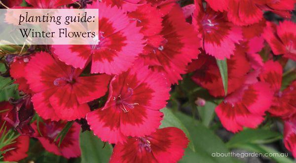 Winter Flower Planting Guide Australia For More Http