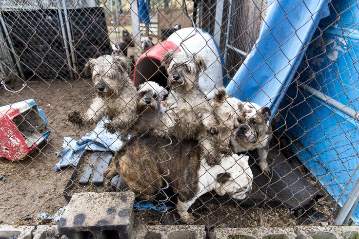 The majority of puppy mills are located in the Midwest