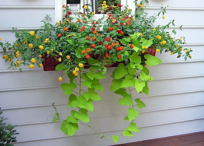 Yellow And Red Lantana Dahlias Sweet Potato Vine And