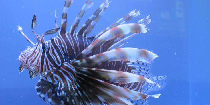 pez león, especie invasora