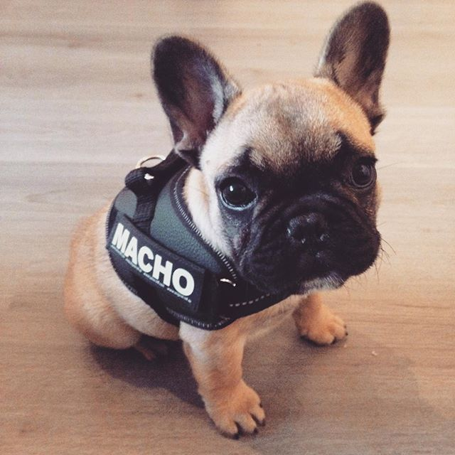 """""""I can't wait for all the attention I'll get in my new Macho harness!"""", French Bulldog Puppy"""
