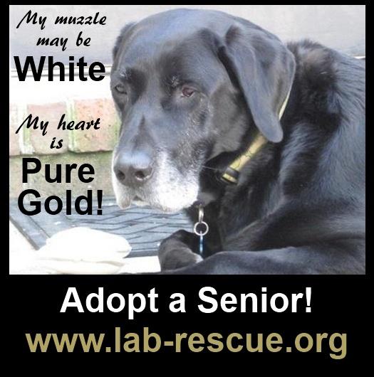 Black lab rescue washington dc