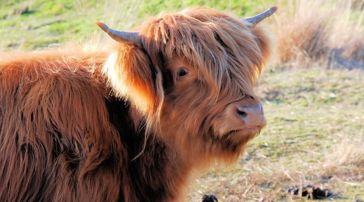 Blonde d'Acquitaine koe    Bekijk meer foto's op www.reiskrantreporter.nl/reports/5830