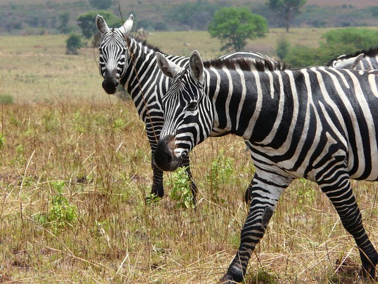 Maneless zebras (Equus quagga borensis) at Kidepo Valley National Park in Uganda - photo by Mark Jordahl, via Wikipedia;  They are a subspecies of Plains zebras found in the northern parts of eastern Africa, including Kenya, Uganda, and South Sudan. They are  generally the darkest form of the Plains zebra.