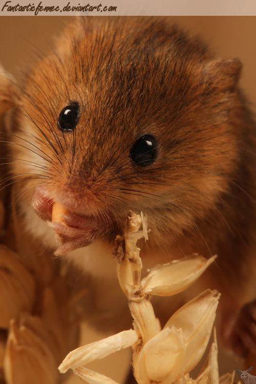 how to catch field mouse in house