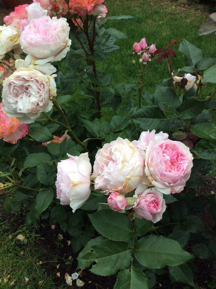 Nostalgie Roses Pezinok Slovakia