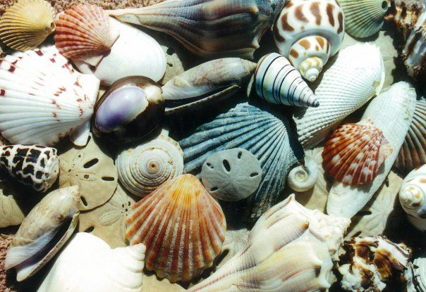 "Shelling, Surfside Beach, Texas    ""Shell Shocked"" is what you will be after discovering the 600 known shell species found among our 27 miles of sandy beaches of Brazoria County. Surfside Beach is one of the few of the Shell Hunting hot spots in the area."