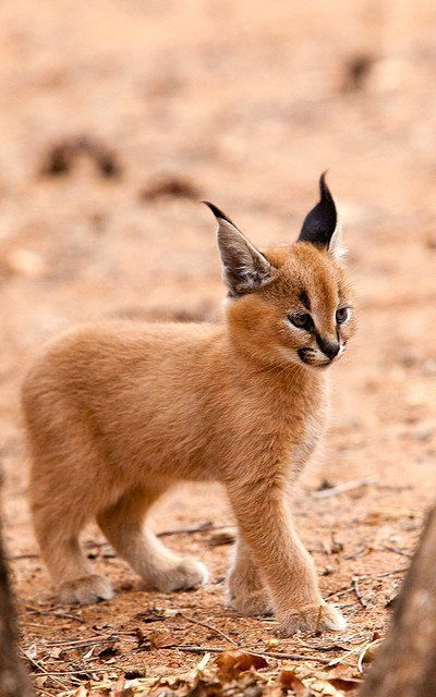 Caracal Kitten. Looks so graceful!