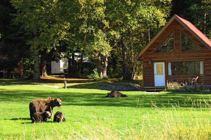 Grizzly Bears by cabins at Tweedsmuir Park Lodge.