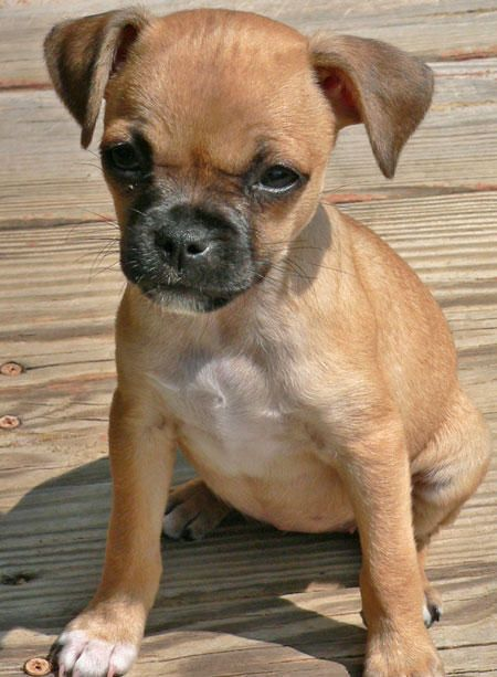 R Chihuahuas Smart Puggat | Posters for t...