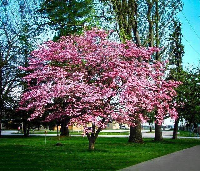 The Pink Dogwood is an amazing special form of the white native dogwood tree, that has not white, but gorgeous deep-pink flowers smothering the tree every spring. Description from thetreecenter.com. I searched for this on bing.com/images