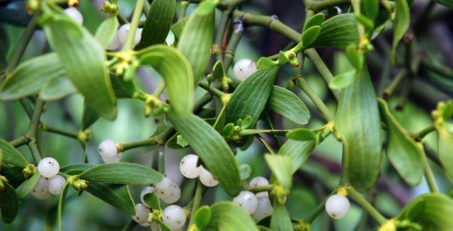 Bílé kuličky jsou prudce jedovaté, zbytek rostliny léčí.