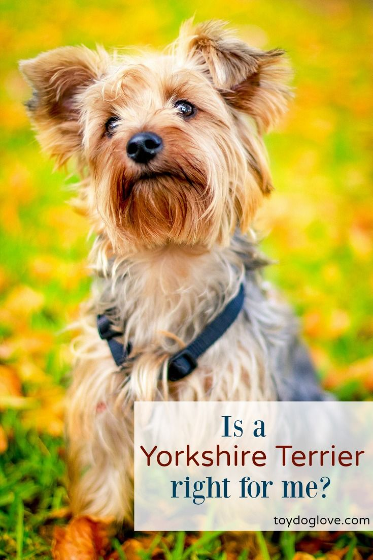 All about Yorkshire Terriers - personality, adaptability, grooming and exercise needs and kid-friendliness.