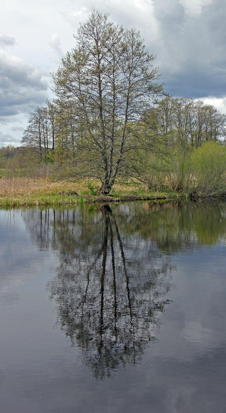 Reflection. Tree by the river Svartån.