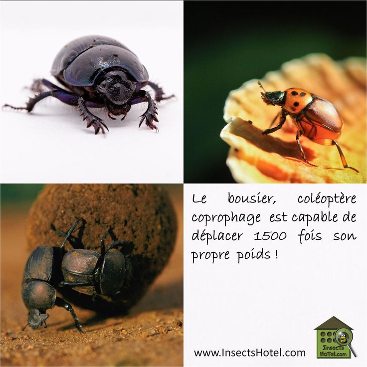#Bousier #insectes #InsectHotel #insecte #nature #biologie #animal #animaux #faune www.InsectsHotel.com