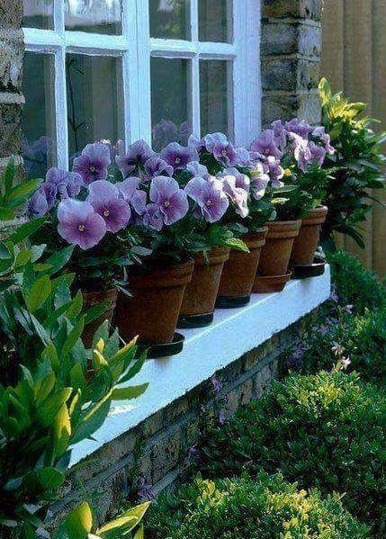 pretty pansies all in a row.