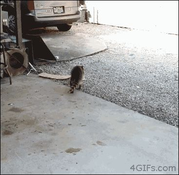 """After: Raccoon Almost Wins Prestigious """"Most Selfless"""" Award, Beaten by Cat 