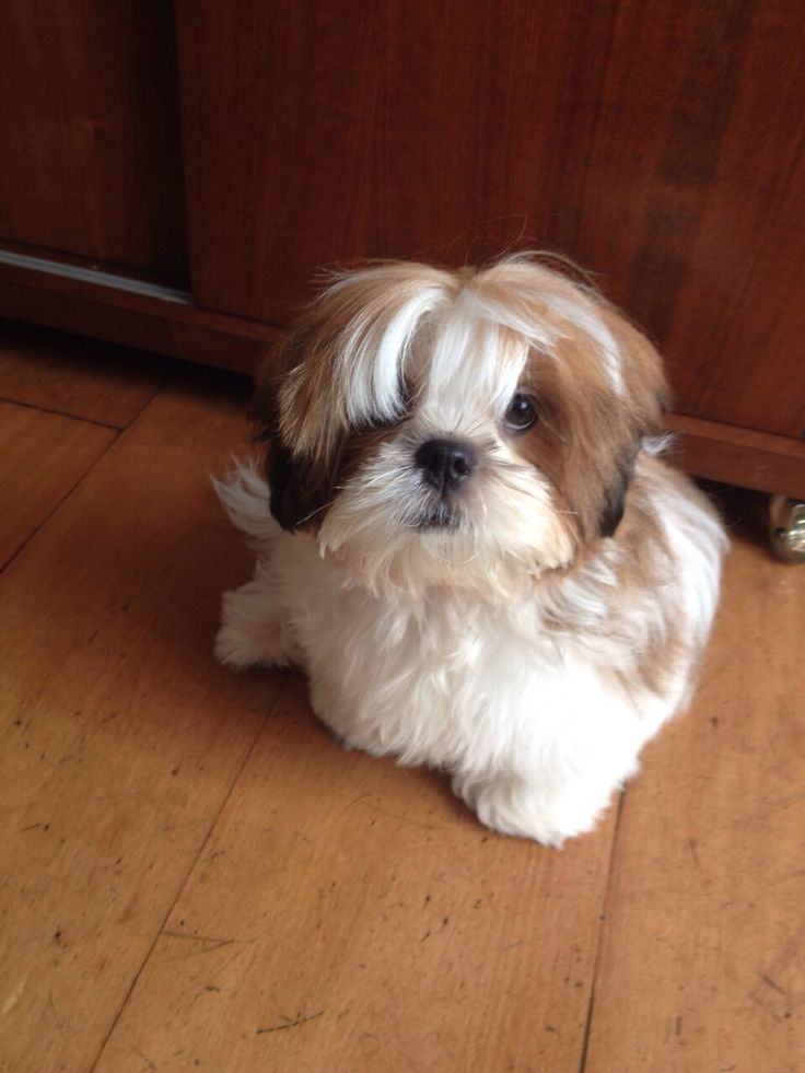 Download Cuby Chubby Adorable Dog - d30943244394cbca6640776cb5e758d3--griffons-peanuts  Pictures_336733  .jpg