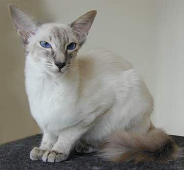 Javanese Cats