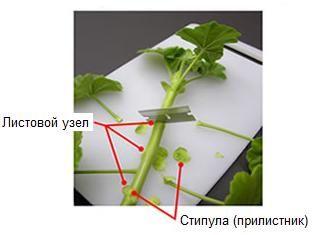 Взятие и укоренение черенков пеларгоний (гераней) | Герань (Pelargonium)