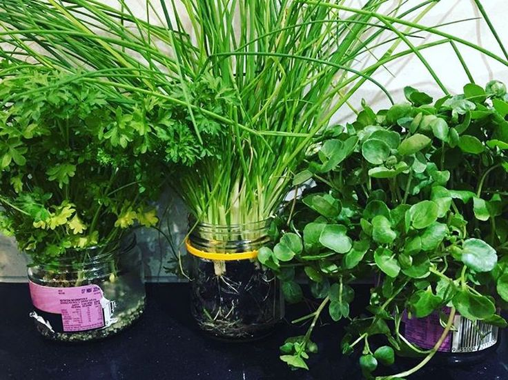 Growing living herbs in jars in the kitchen. Great alternative to buying them