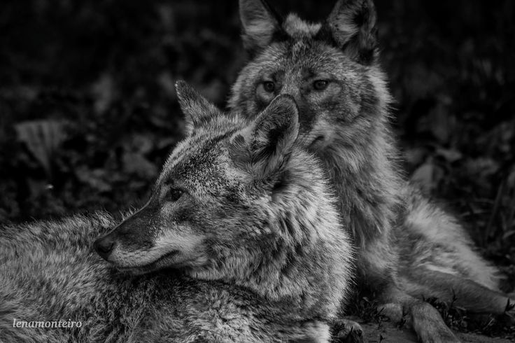 Wolves... - Parc Omega, Montreal, Quebec, Canada, North America