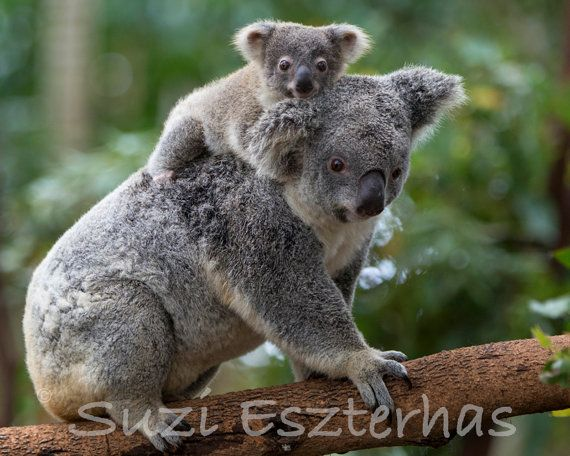 BABY KOALA and MOM Photo, Koala Bear, 8 X 10, Baby Nursery Print, Baby Animal Photograph, Boys Room, Girls Room, Safari Nursery, Wildlife