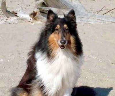 Rough Coat Collie ( Dogs I Have Now)