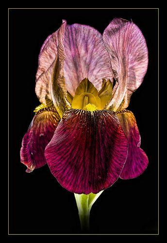 ~~ Bearded Iris ~~