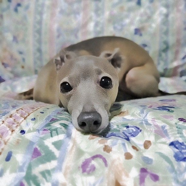 Italian GreyhoundAwesome Animal, Iggies Cutie, Dogs Pics, Puppies, Dogs Breeds, Dogs Iggy, Greyhounds Whippets, Perros Dogs, Italian Greyhounds
