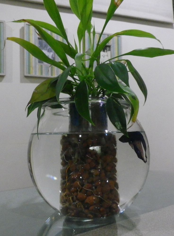 Betta fish aquarium with water plants just add some water for Growing plants with fish