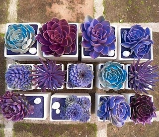 If you search the Internet for blue and purple succulents you won't find these.  Why? They look real.  In fact they ARE real.  But they've been spray painted! I've never seen spray painted succulents, or any other flowers for that matter, but these rock!  The perfect way to coordinate their colors with to your wedding colors.