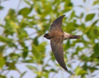 Dunia Cara Ternak Hewan - Peluang Usaha Sampingan: Perbedaan burung walet dan burung sriti