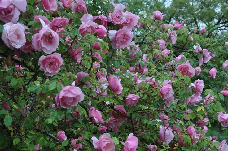 Lijiang Rose syn. Rosa gigantea 'Rosea' | flowers ...