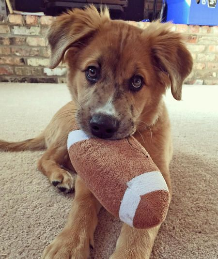 Henry the Australian Shepherd / Golden Retriever / Labrador Retriever Mix