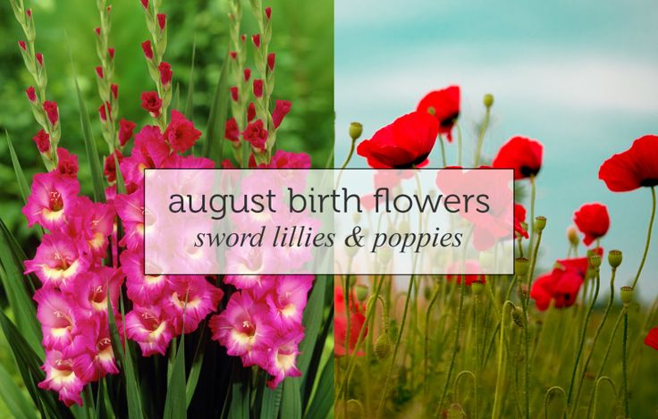 birthflower-august: Sword Lillies and Poppies. The Gladiolus (or sword lily) is the main birth flower for August and represents remembrance, calm, integrity and infatuation. It is said that with gladiolus, you pierce whoever you give it to's heart with love.