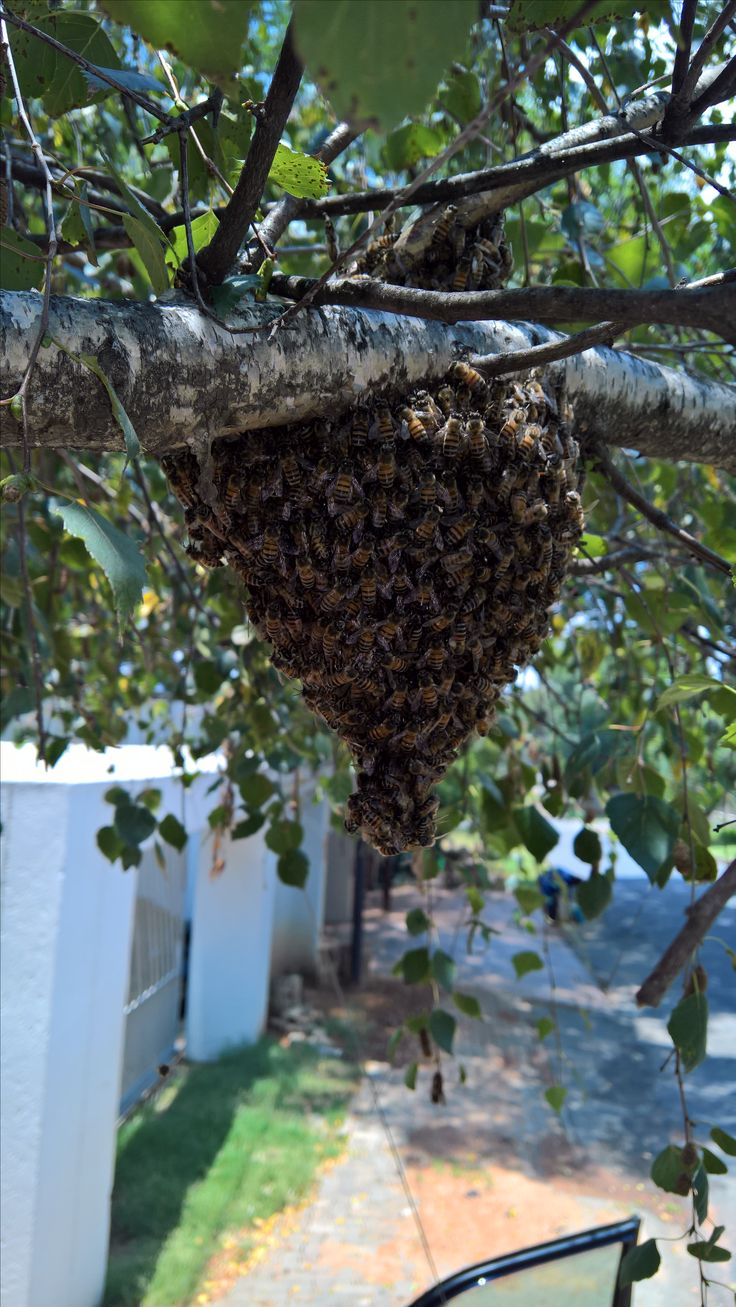 Bee removal in Johannesburg bees removed in tree