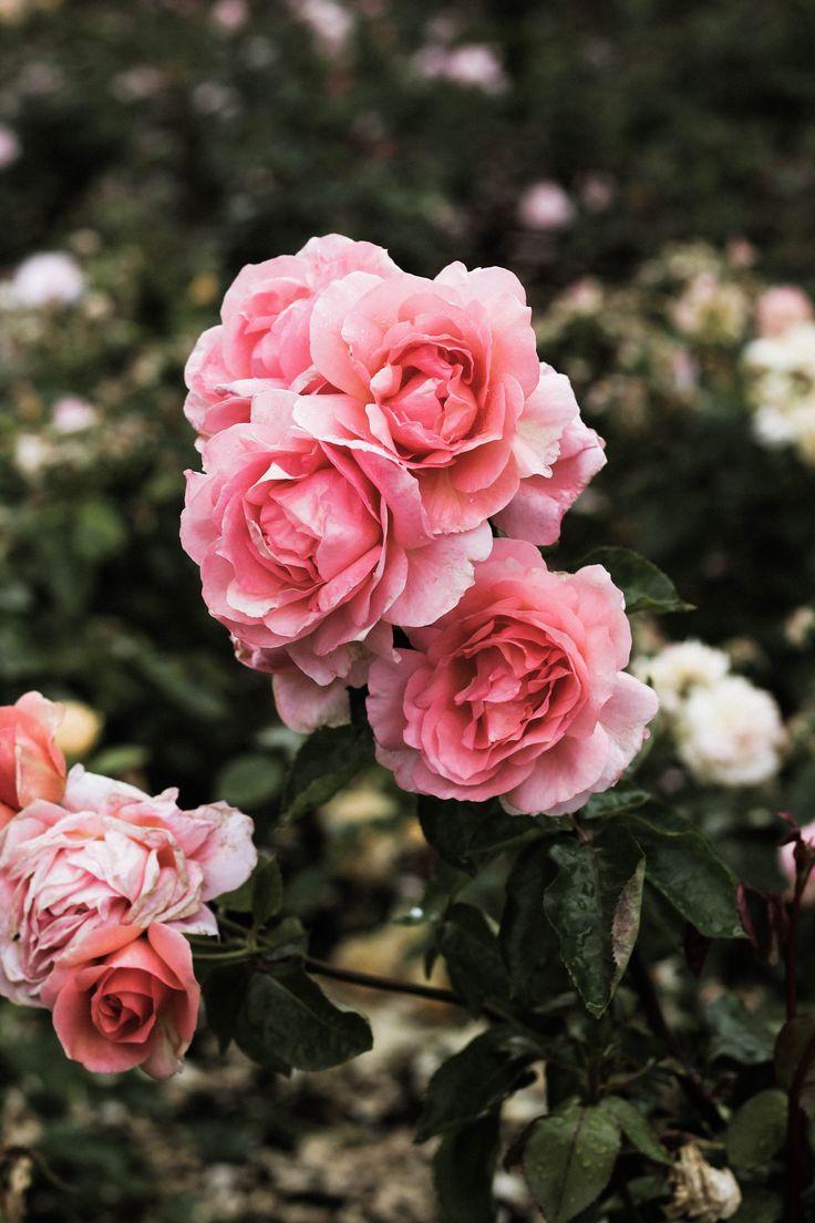 best flowers images on Pinterest Beautiful flowers Flower