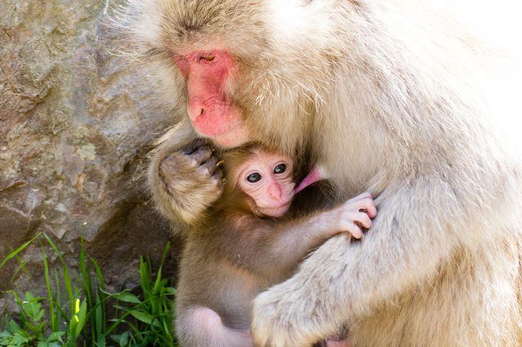 Snow monkey baby milk time
