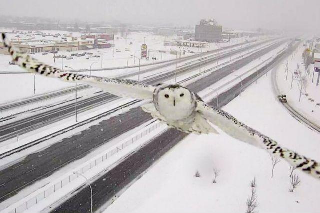 La photo d'un harfang des neiges fait un tabac sur Twitter