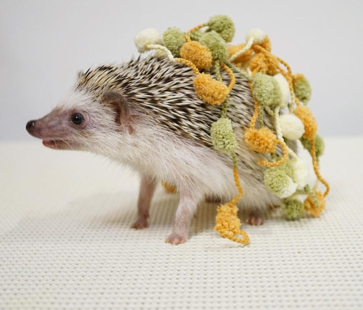 ハリ用の服に見えるかな?服というより亀みたい🐢😂 #hedgie #hedgehog #ハリネズミ #はりねずみ #hérisson #pet #玻璃
