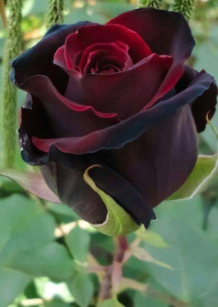 Soft velvety Redviolet Rose.