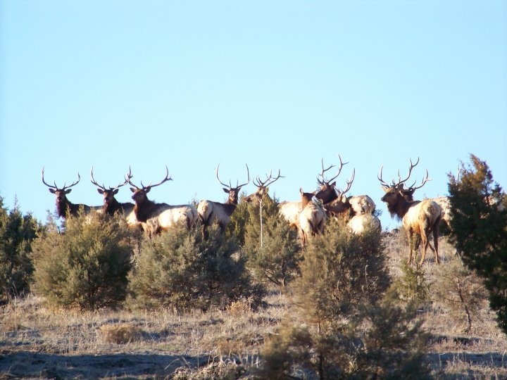 Stand of elk, White Mountains, Vernon, AZ December 2012