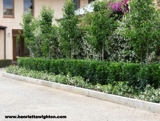 Photo Gallery | Henrietta Wighton - Garden Design... Star Jasmine as a ground cover, Murraya hedge and upright ornamental Pear trees.