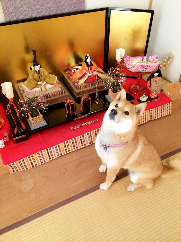 Shiba with Japanese doll festival