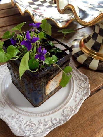 小さな花ですが、一鉢あるだけで強く香るのがニオイスミレの特徴。甘い春の香りを楽しんで。