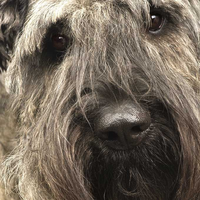 Large Dogs With Hair Instead Of Fur